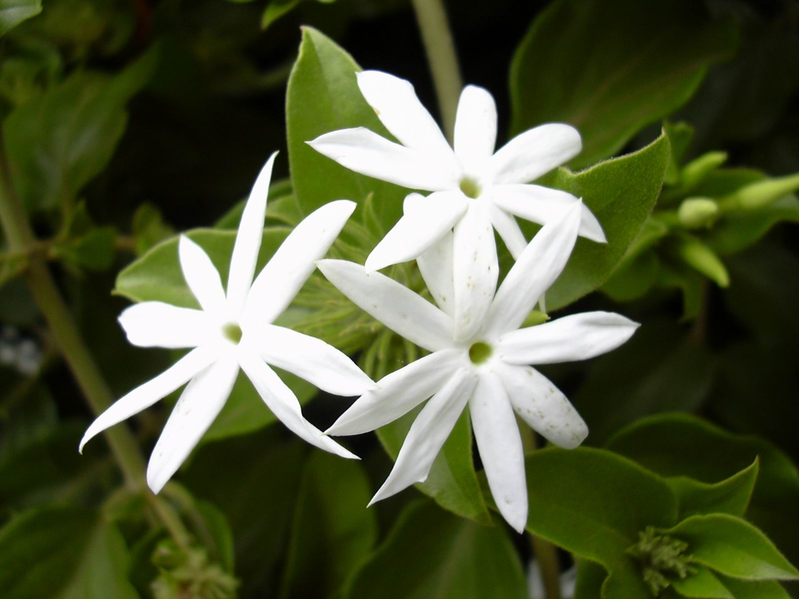 Jasminum-Multiflorum - Eau Lovely - Rachel McCann